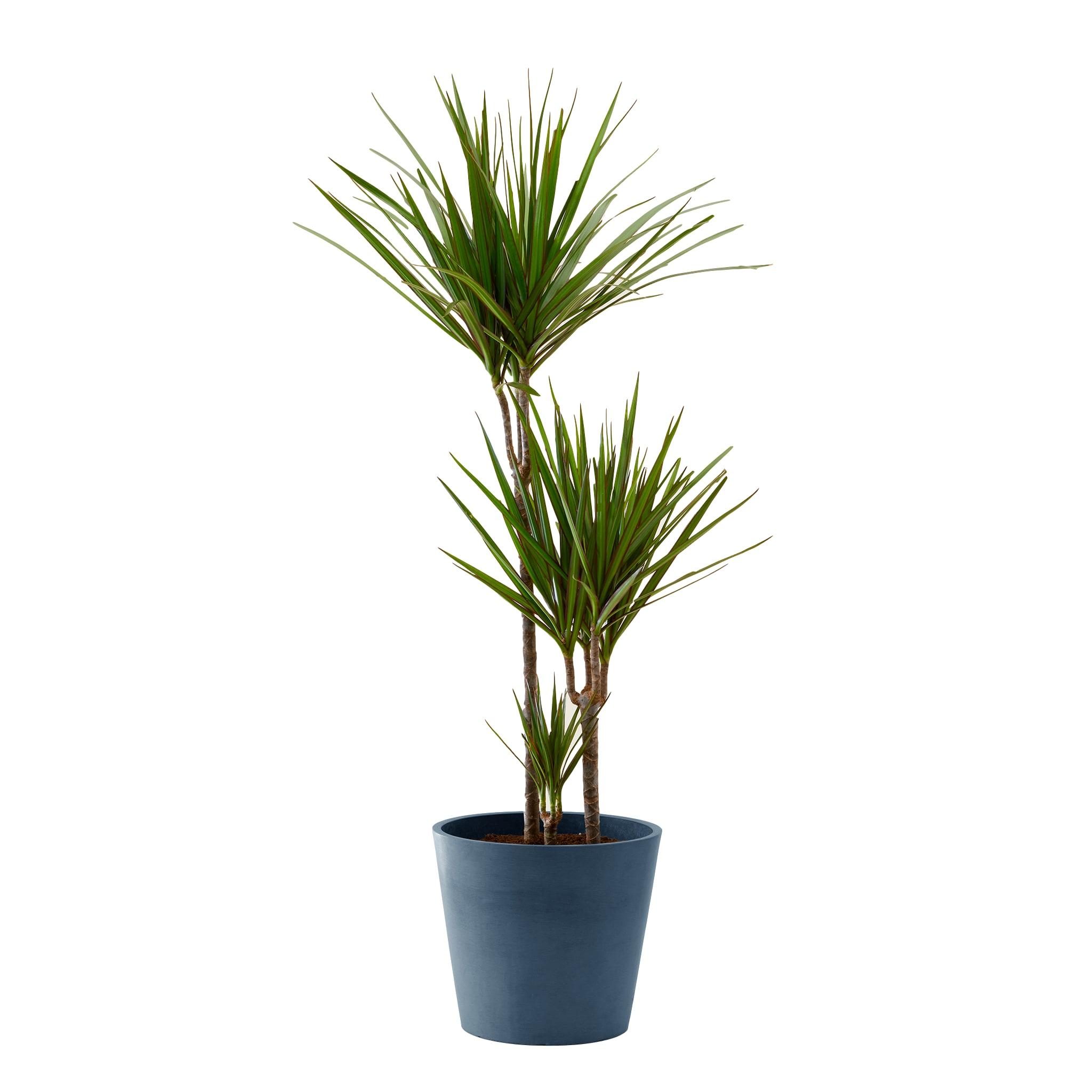 Plante d'intérieur - Dracaena 125 cm en pot bleu nuit