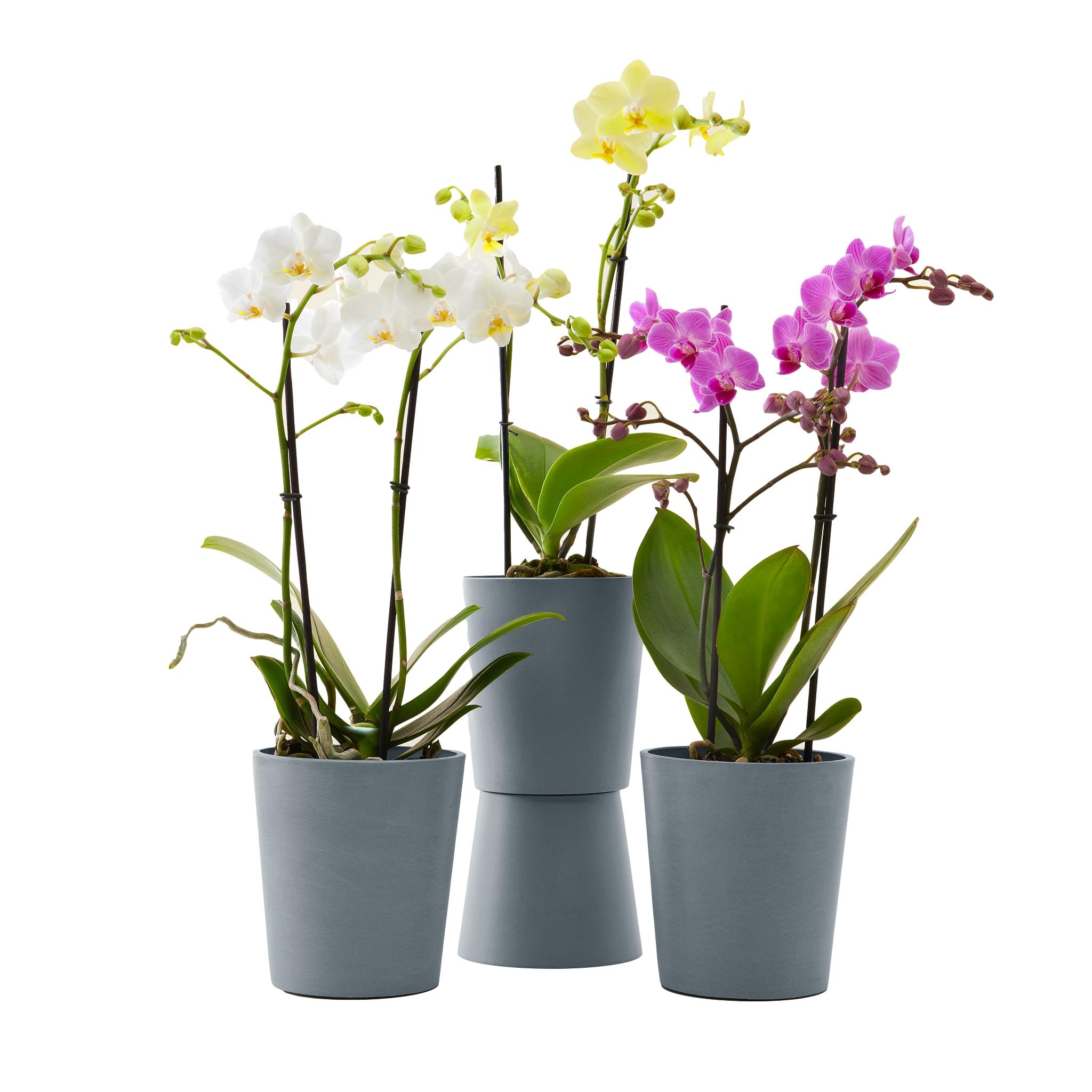 Plante - Trio d'orchidées de 50 cm en pot bleu gris