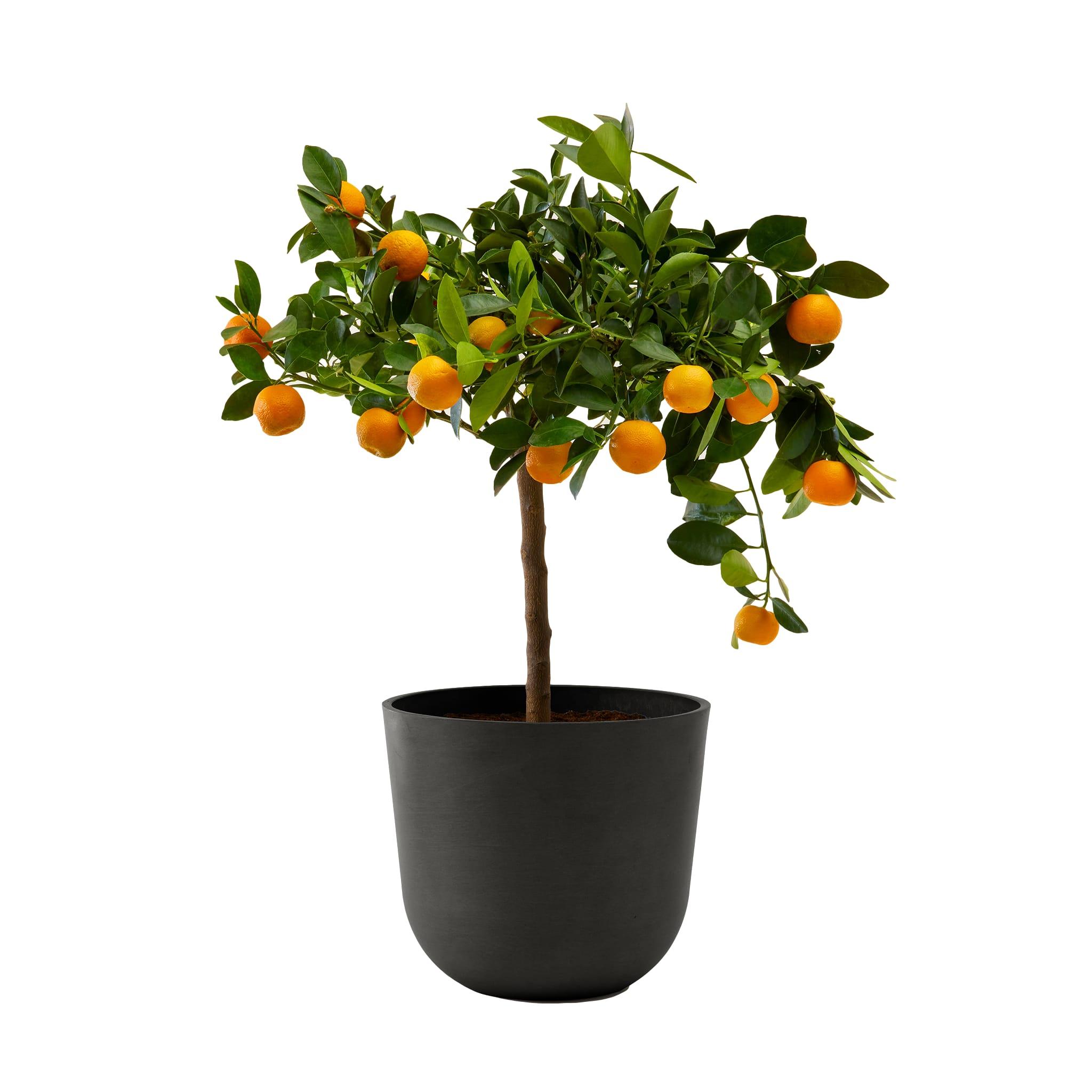Plante d'intérieur- Calamondin 75 cm en pot noir