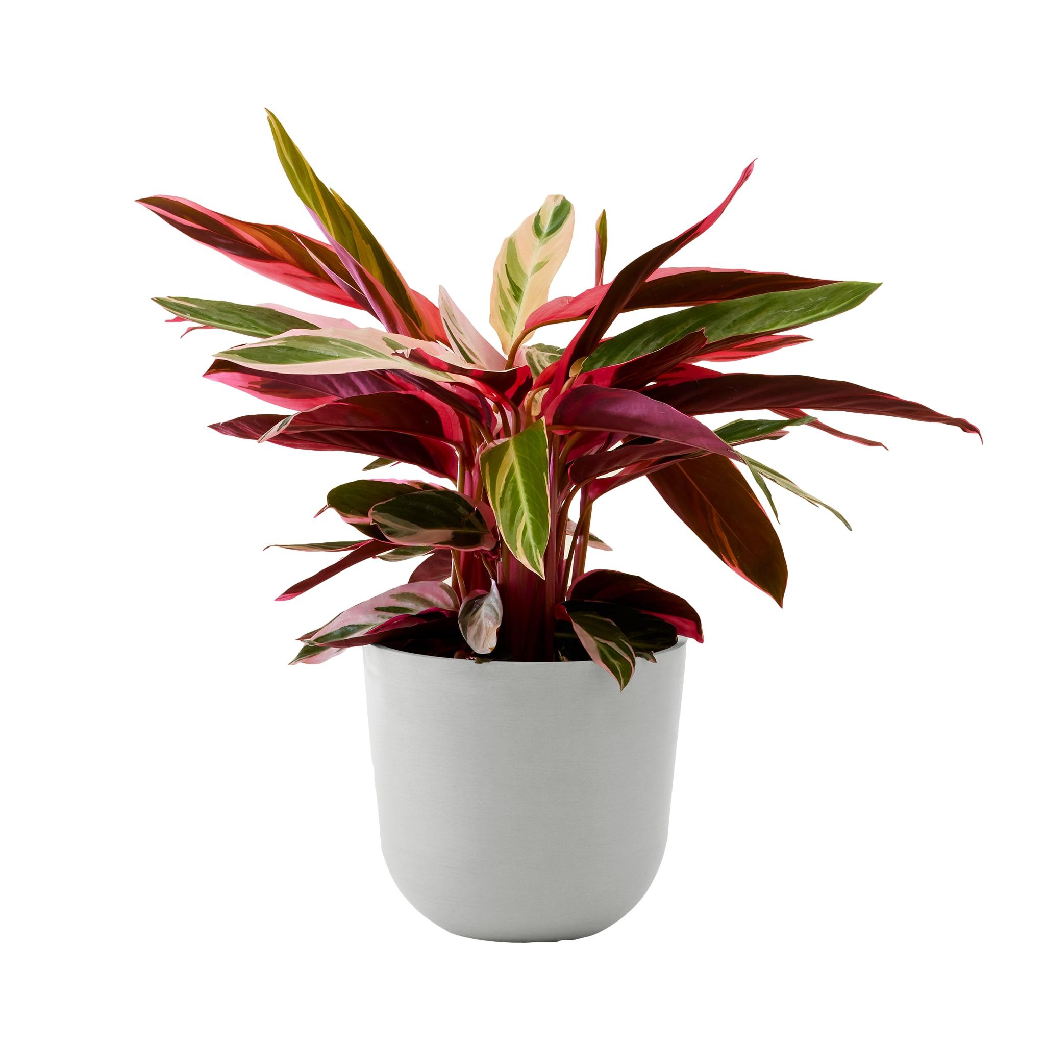 Plante - Calathea triostar 85 cm en pot blanc gris