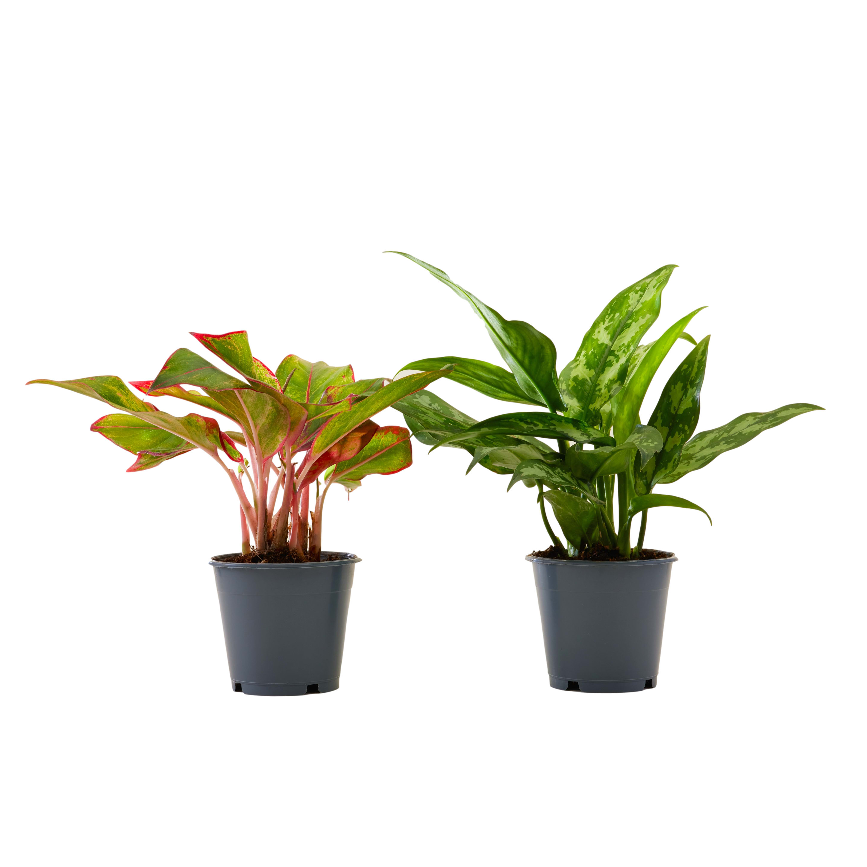 Plante d'intérieur - Duo Aglaonema