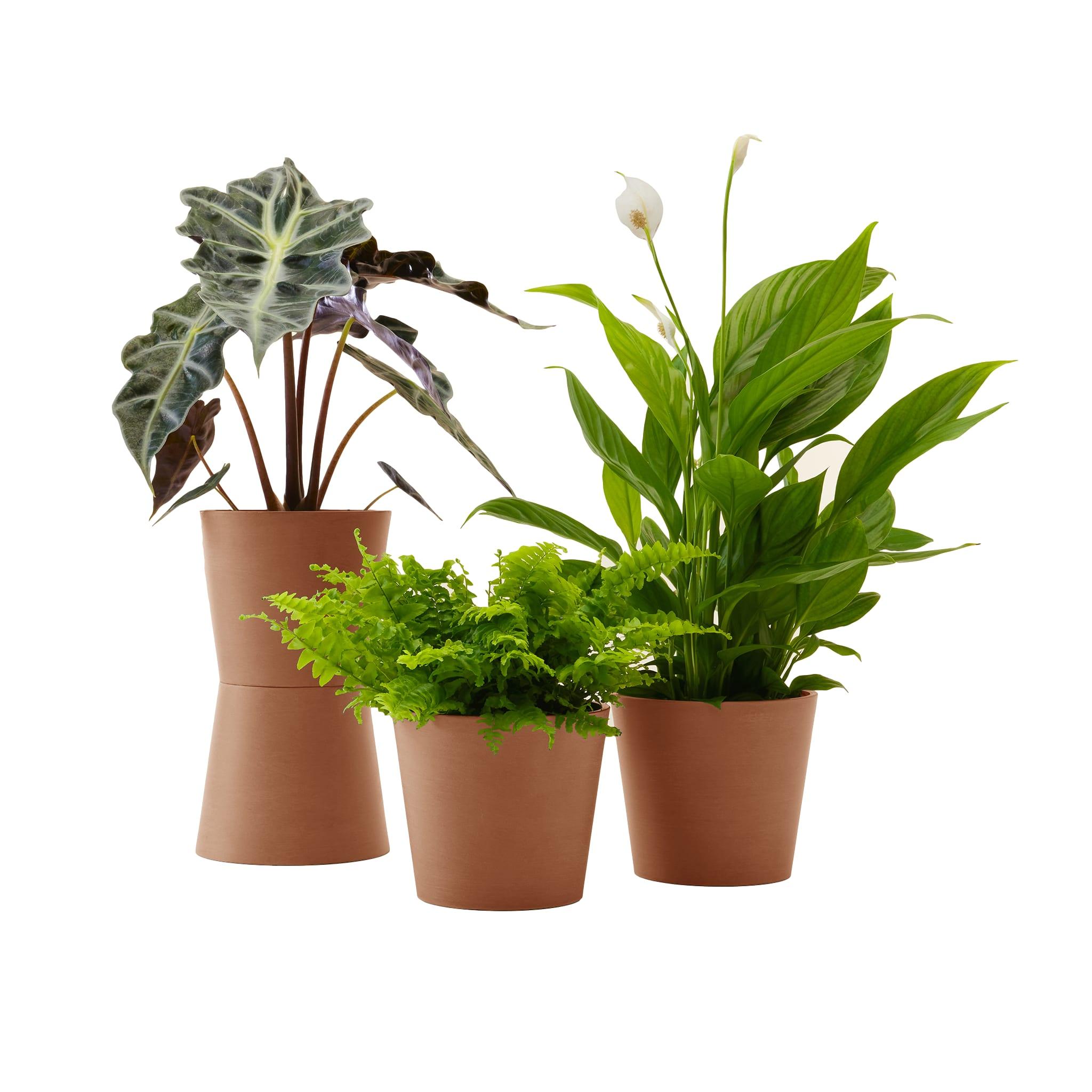 Plante - Spathiphyllum, Bananier, Nephrolepis pot terra