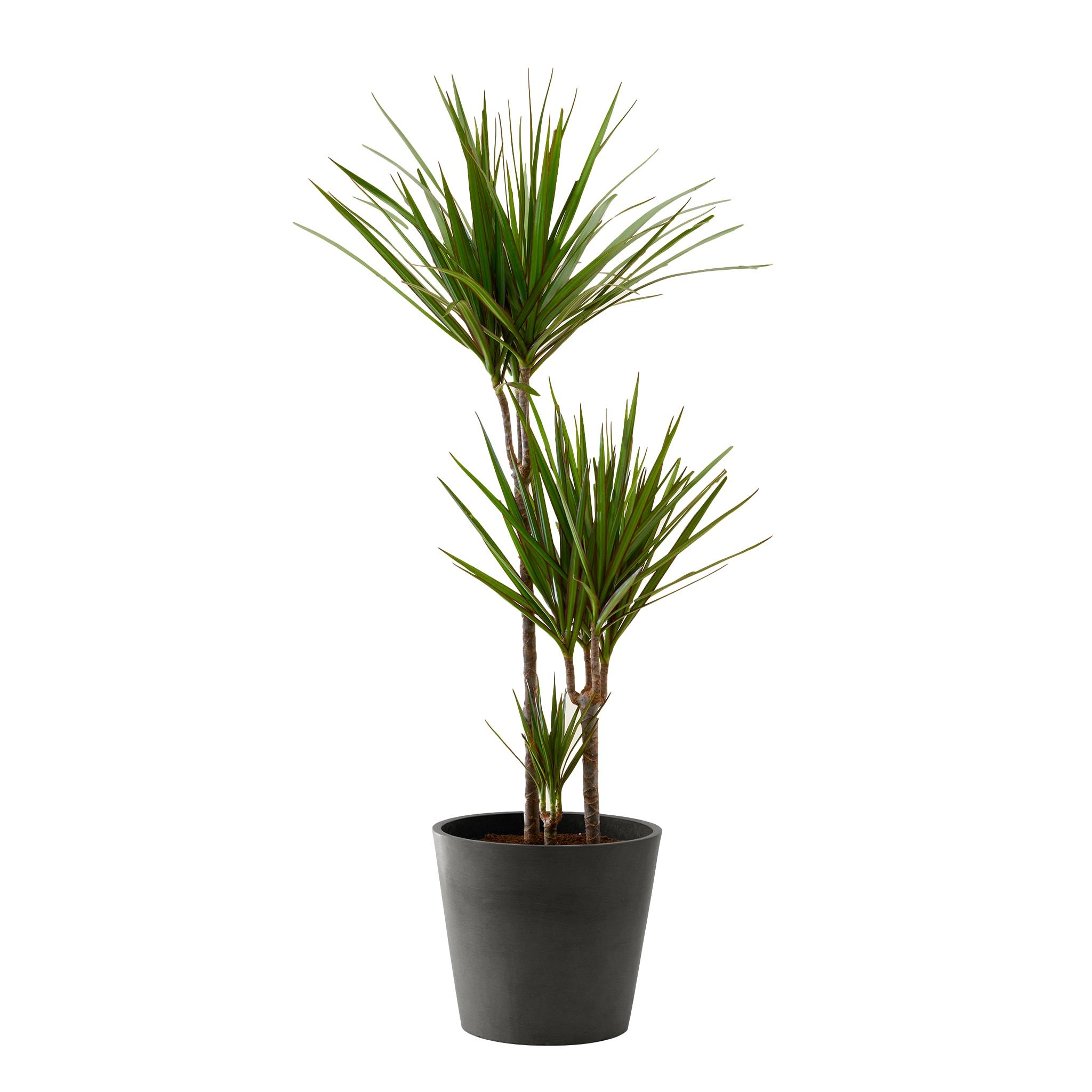 Plante d'intérieur - Dracaena 125 cm en pot noir