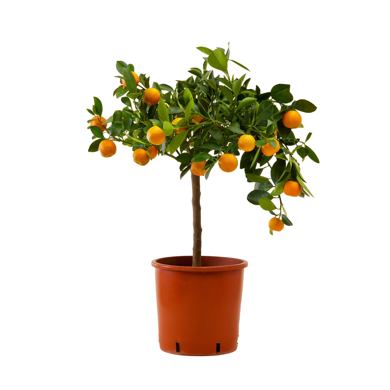 Plante d'intérieur - Calamondin oranger d'appartement