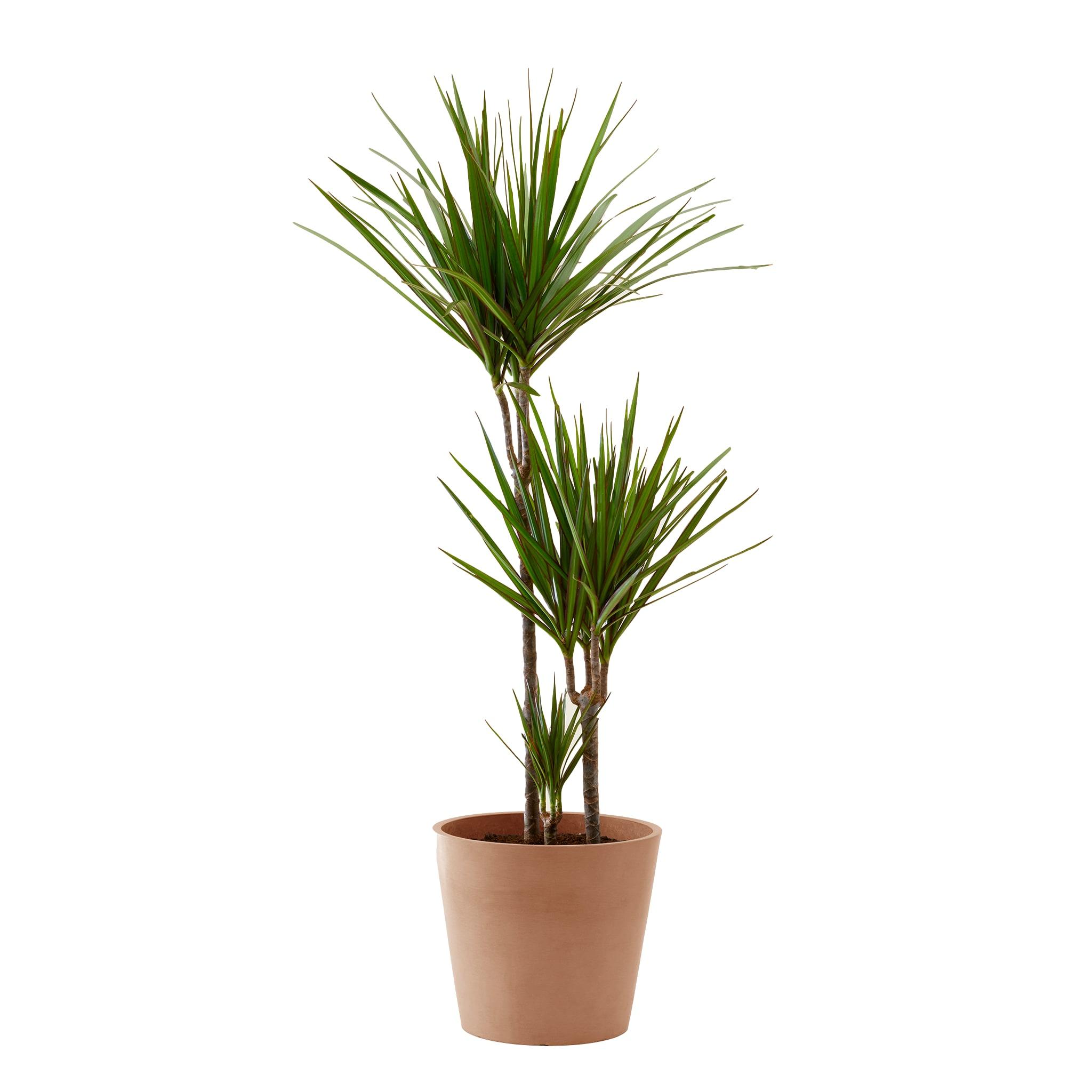 Plante d'intérieur - Dracaena 125 cm en pot terra