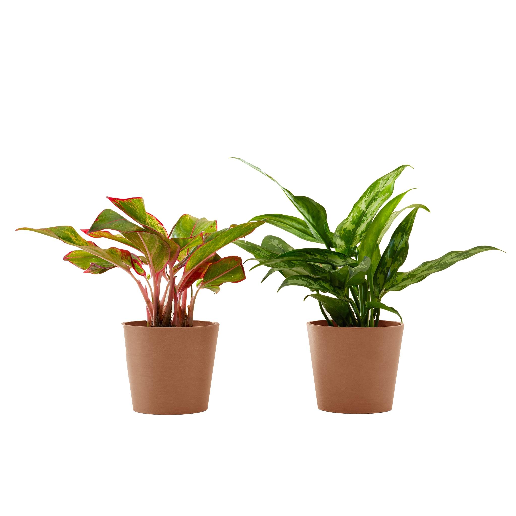 Plante d'intérieur - Duo d'aglaonema 25 cm en pot terra