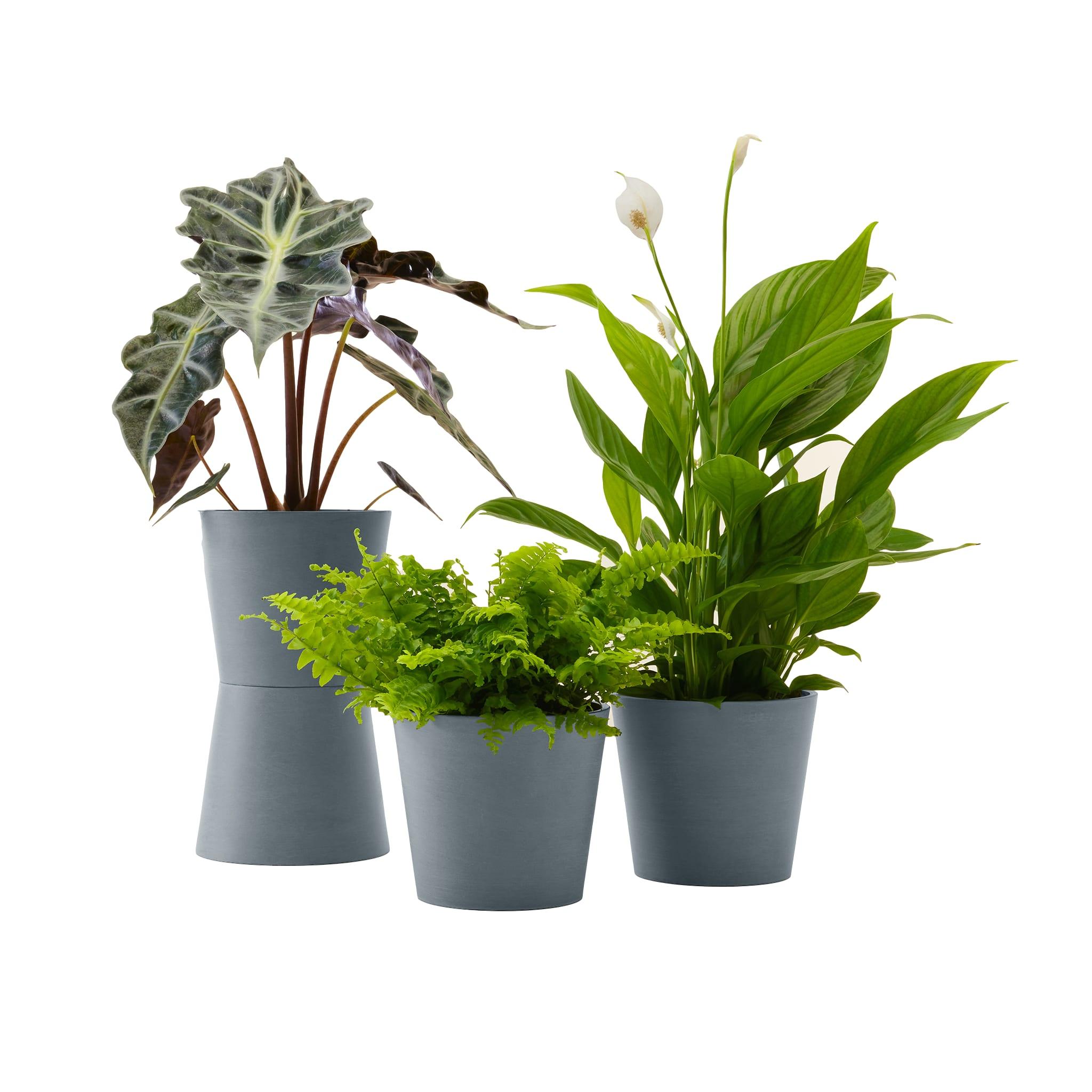 Plante - Spathiphyllum, Bananier, Nephrolepis pot bleu gris