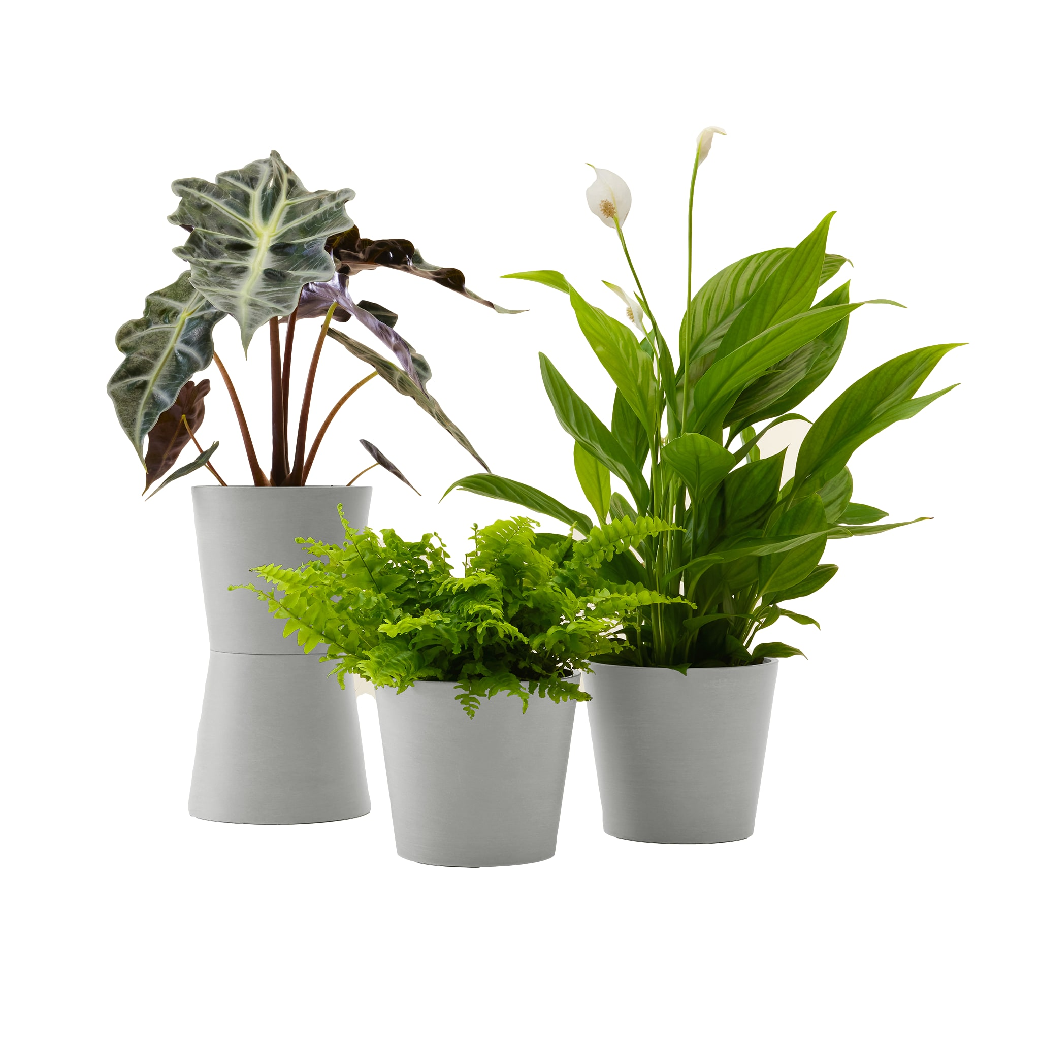 Plante - Spathiphyllum, Bananier, Nephrolepis pot blanc gris