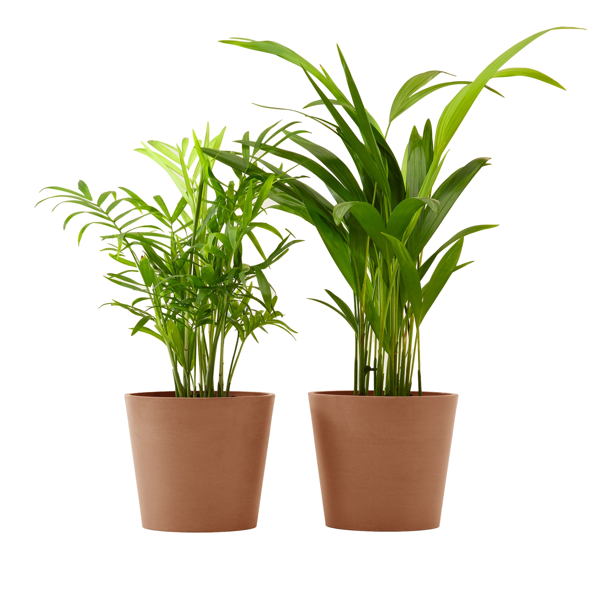 Plante x2 - Palmier areca et chamedora 40 cm pot terra