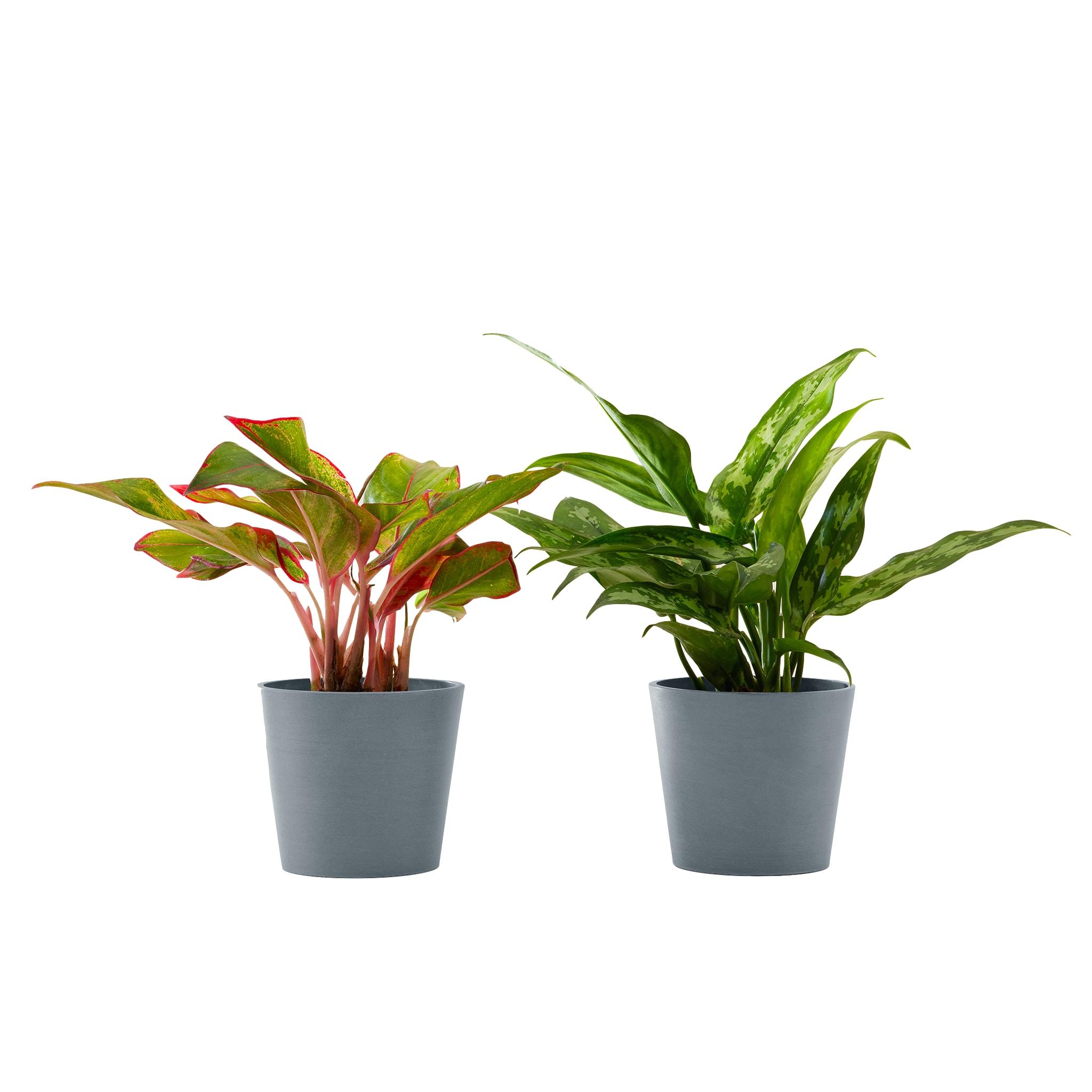 Plante d'intérieur - Duo d'aglaonema 25 cm en pot bleu gris