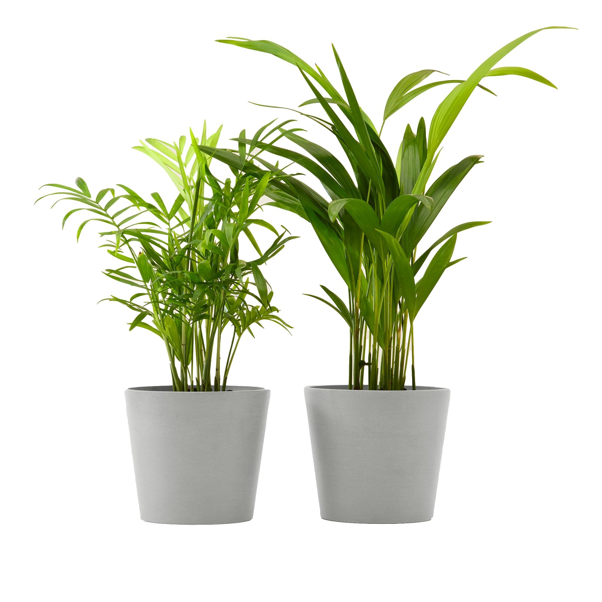 Plante x2 - Palmier areca et chamedora 40 cm pot blanc gris