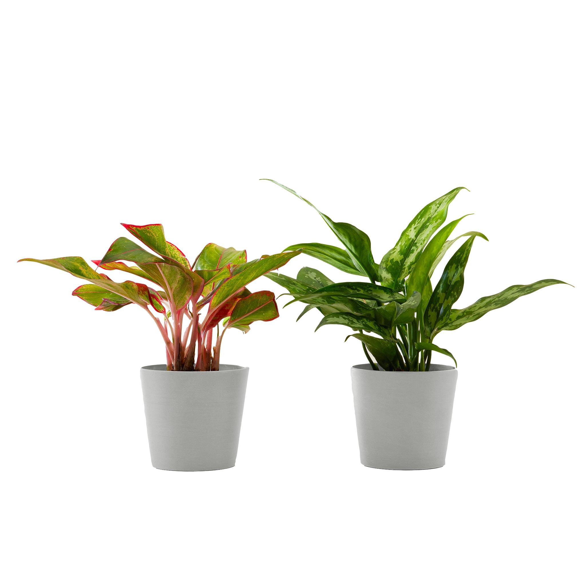 Plante d'intérieur - Duo d'aglaonema 25 cm en pot blanc gris