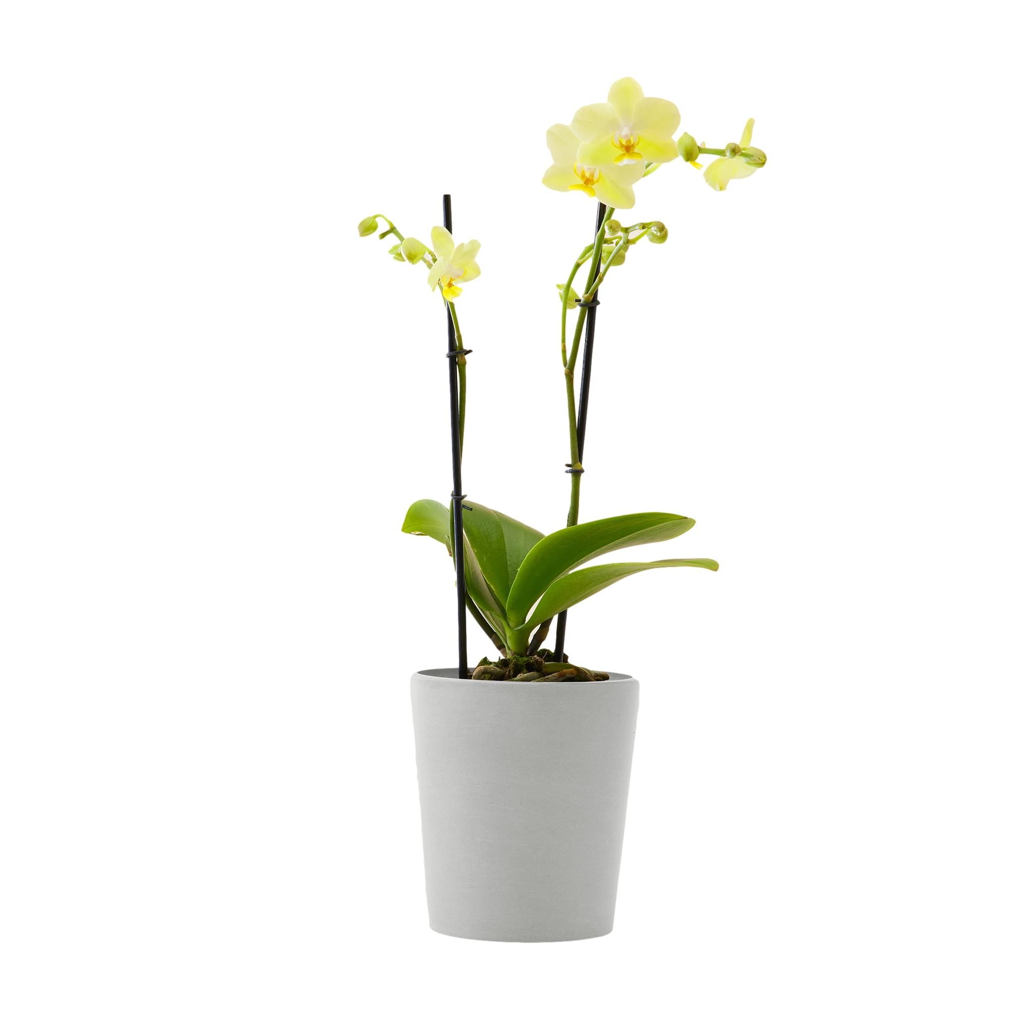 Plante d'intérieur - Orchidée jaune 50 cm en pot blanc gris