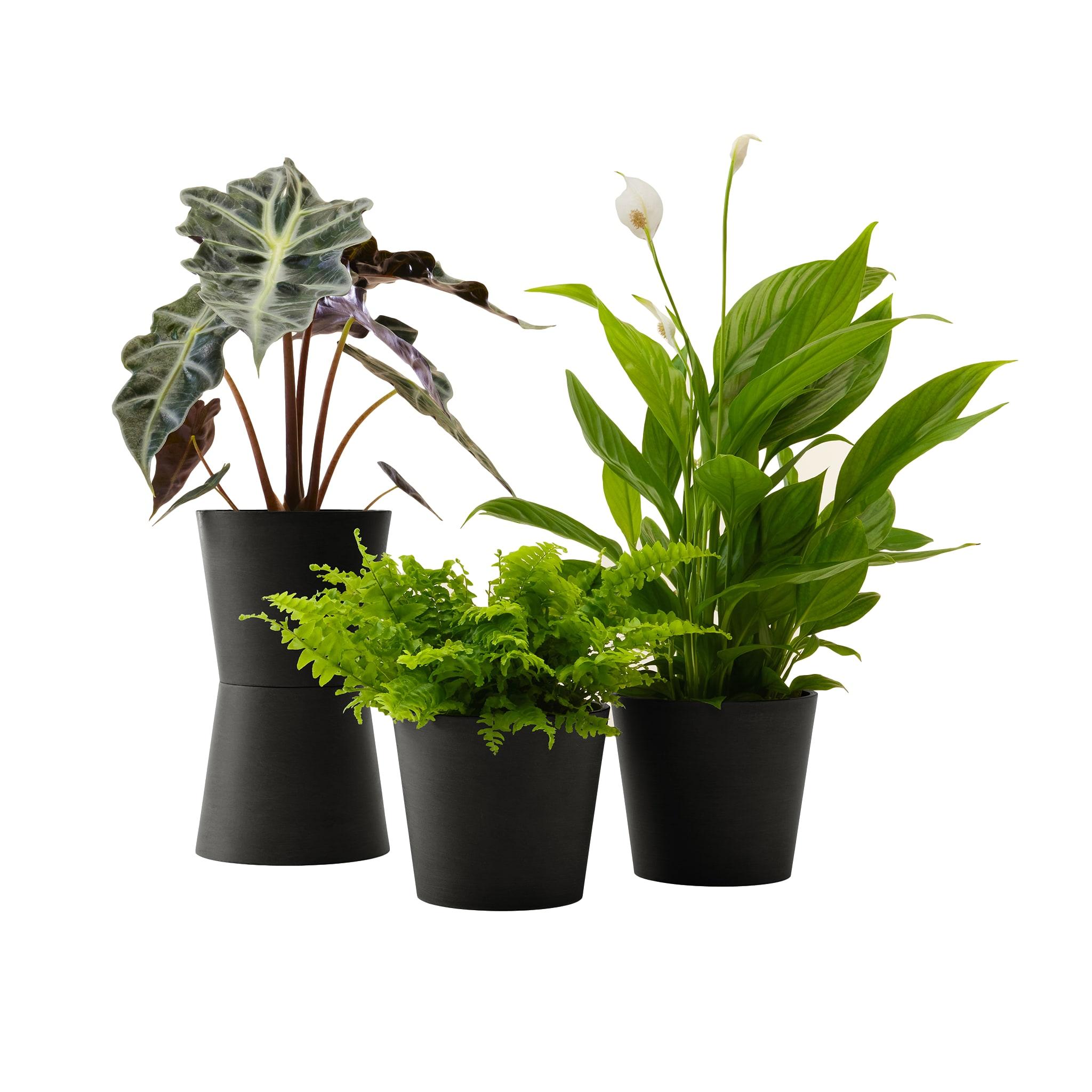 Plante - Spathiphyllum, Bananier, Nephrolepis pot noir