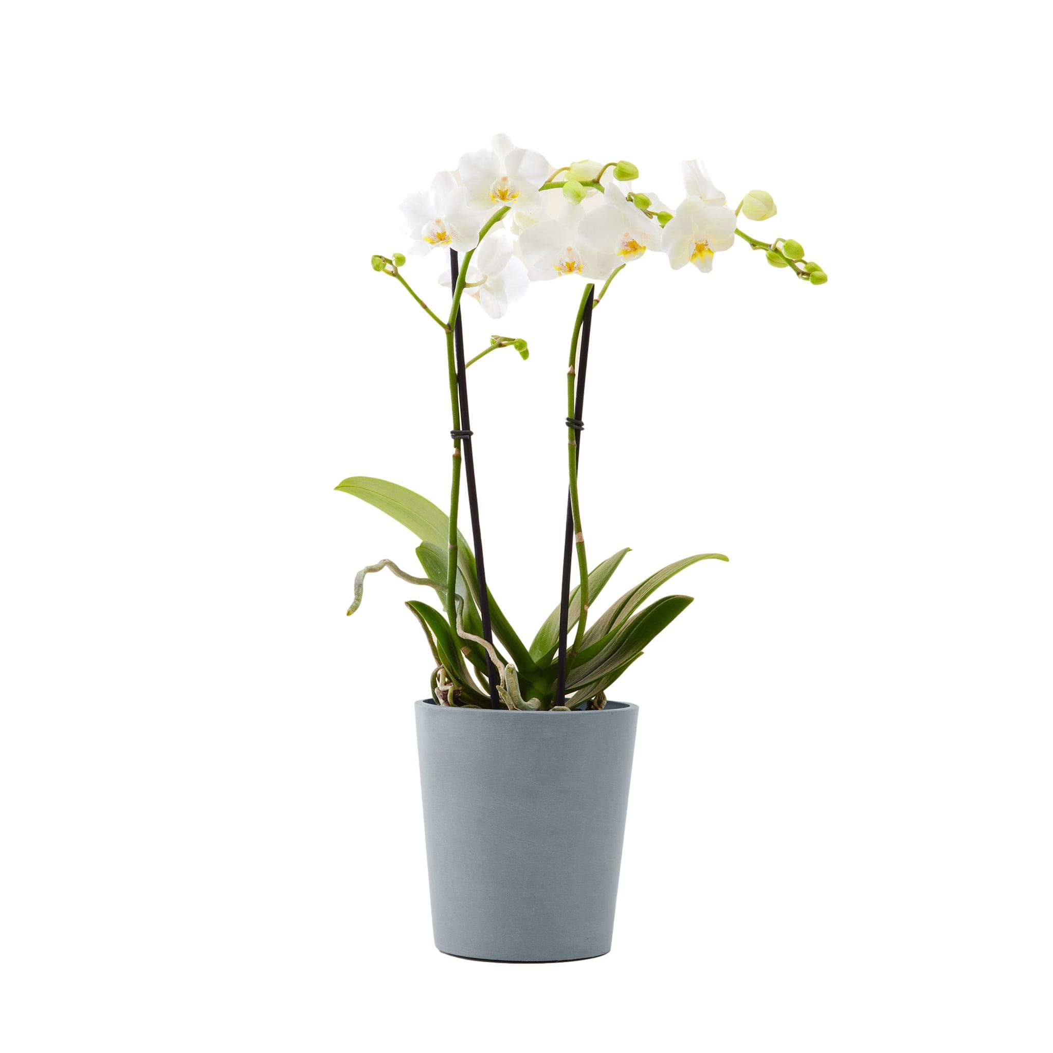 Plante d'intérieur - Orchidée blanche 50 cm en pot bleu gris