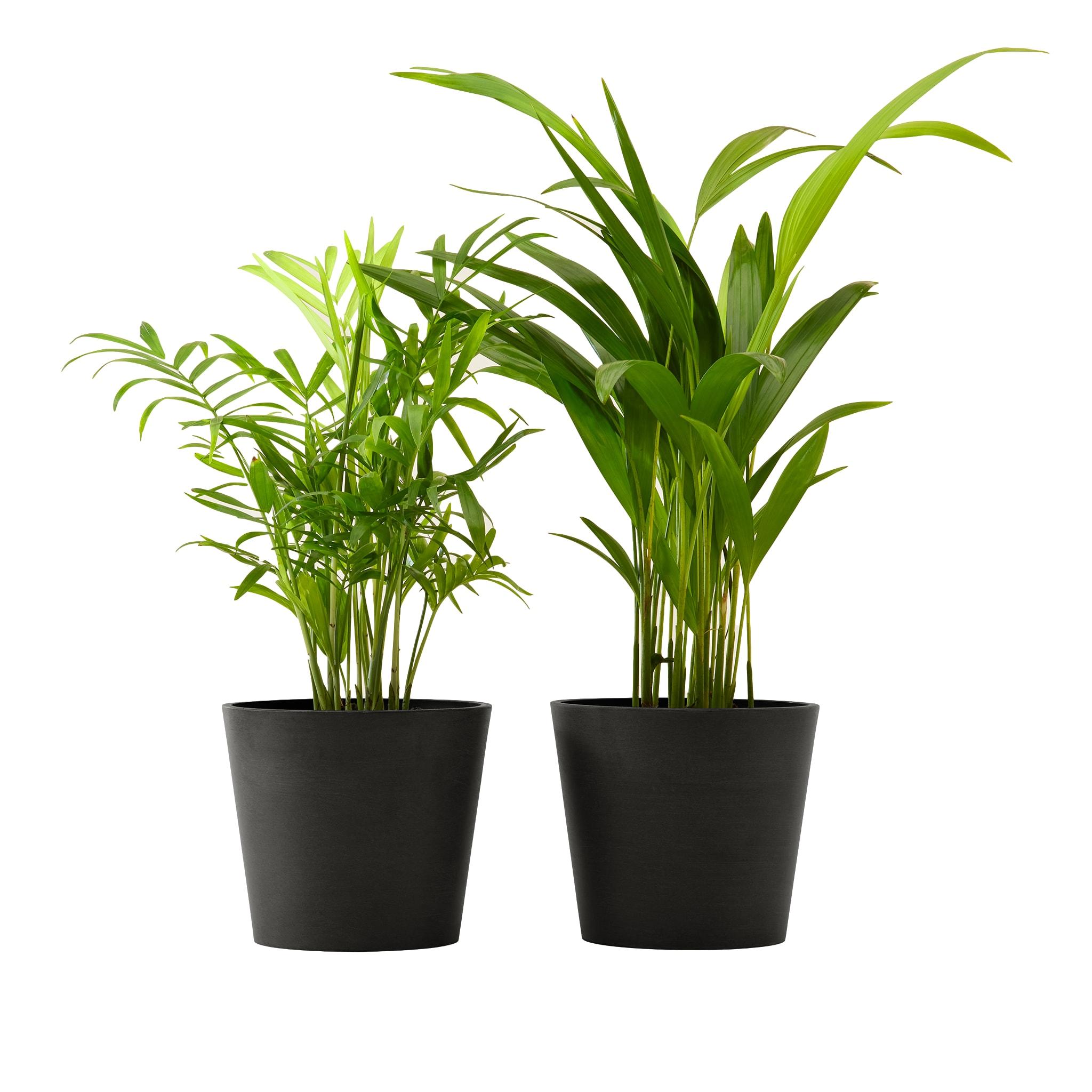 Plante x2 - Palmier areca et chamedora 40 cm pot noir