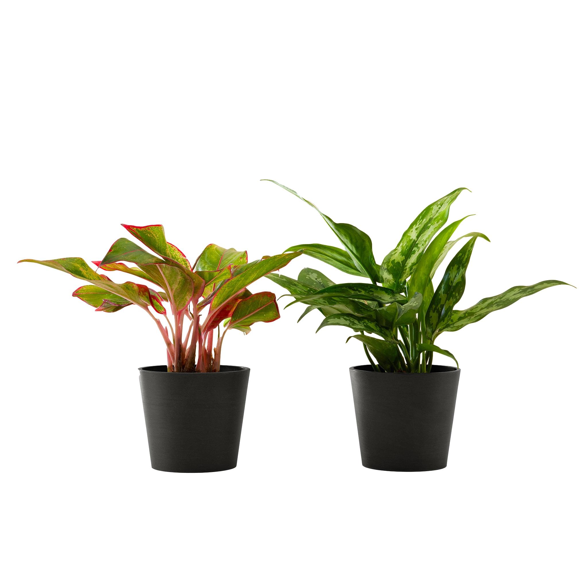 Plante d'intérieur - Duo d'aglaonema 25 cm en pot noir