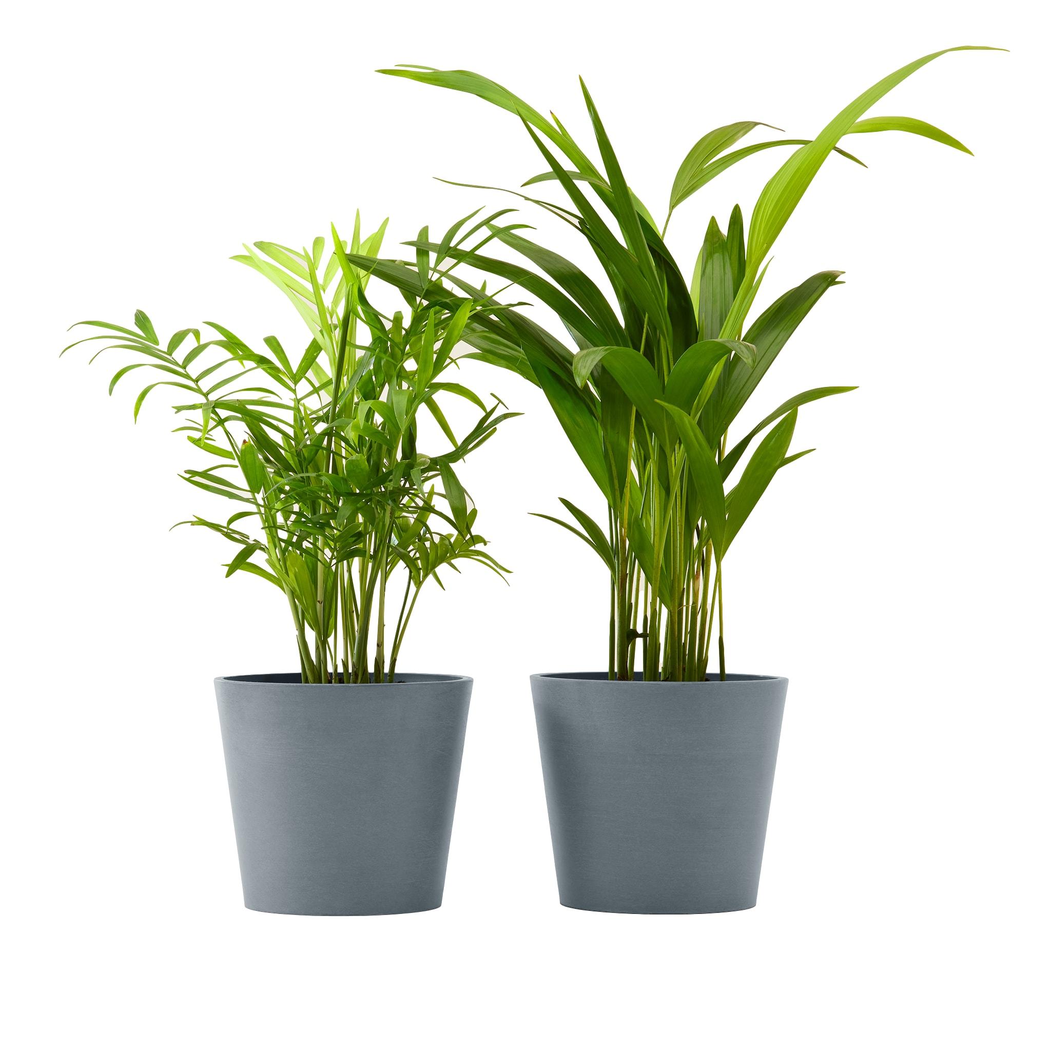 Plante x2 - Palmier areca et chamedora 40 cm pot bleu gris