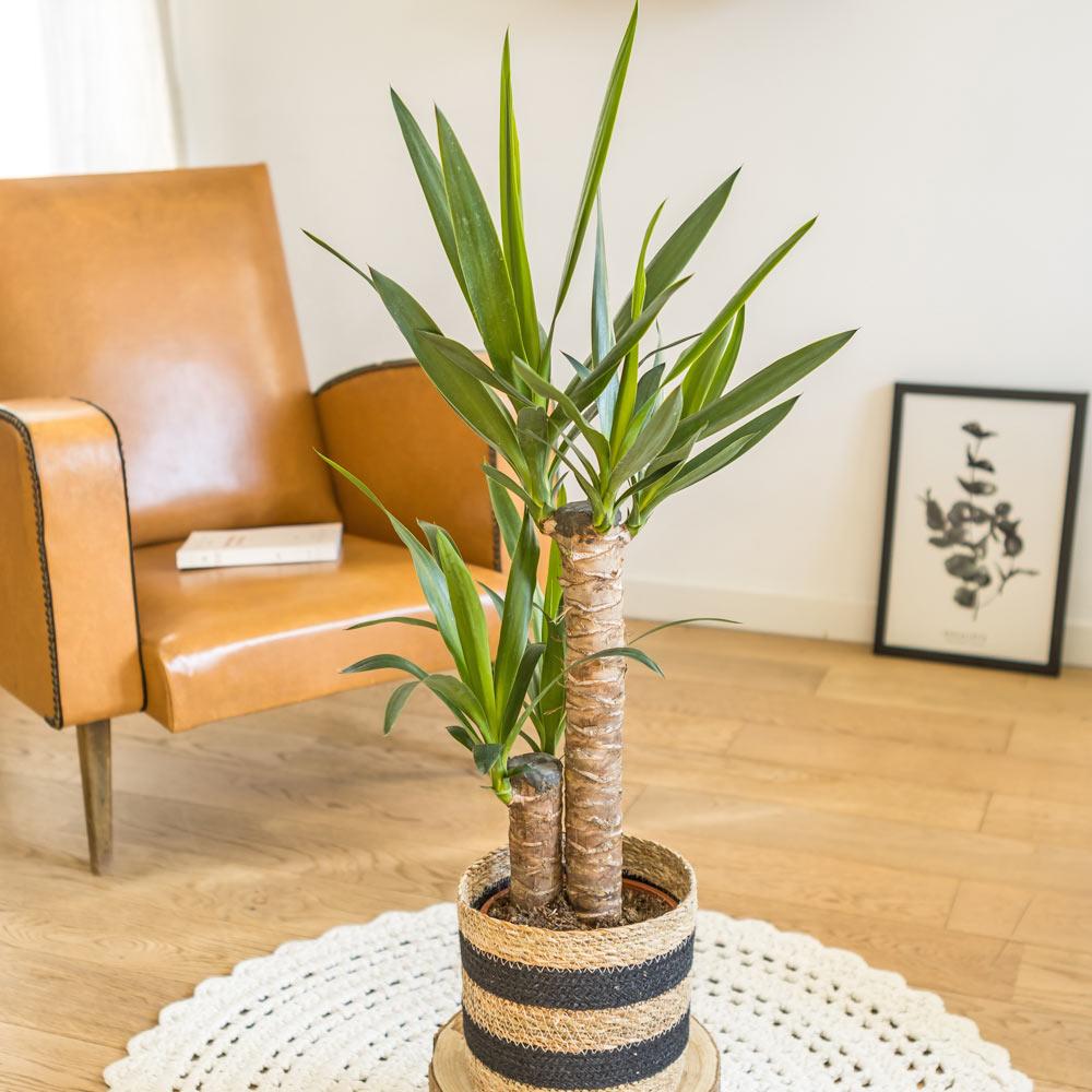 Yucca avec cache-pot