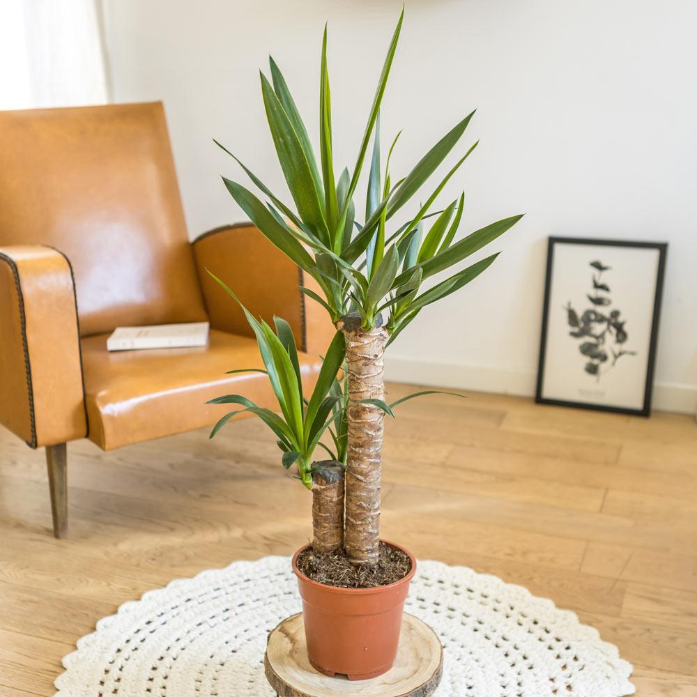 Yucca sans cache-pot