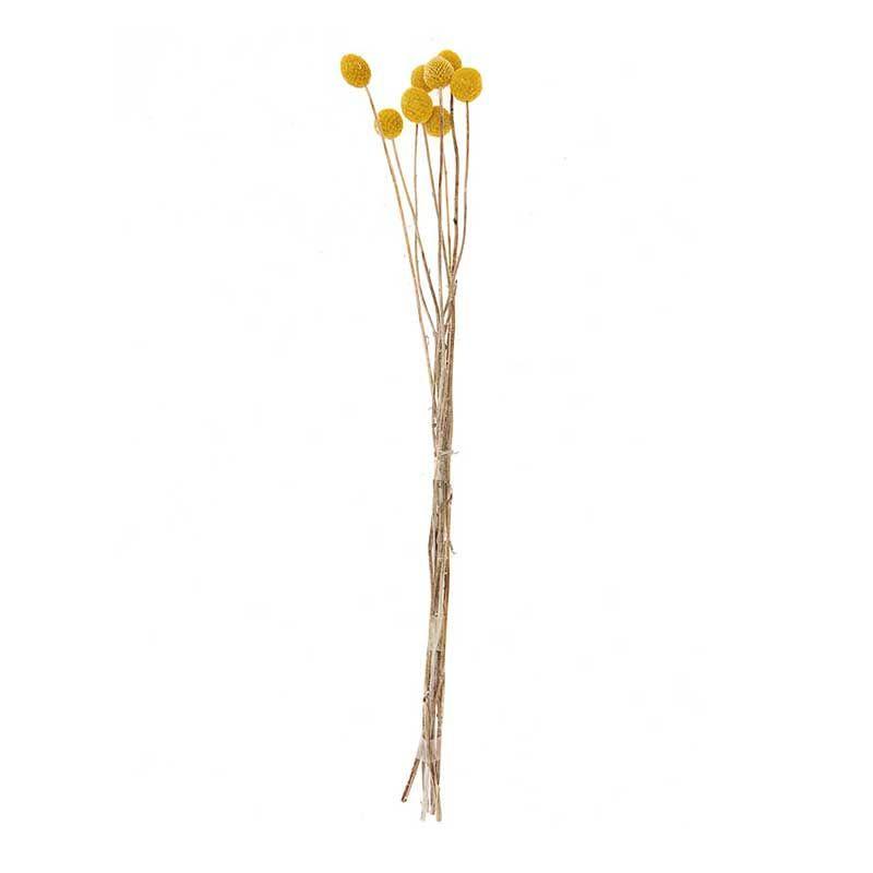 Craspedias séchés 70cm