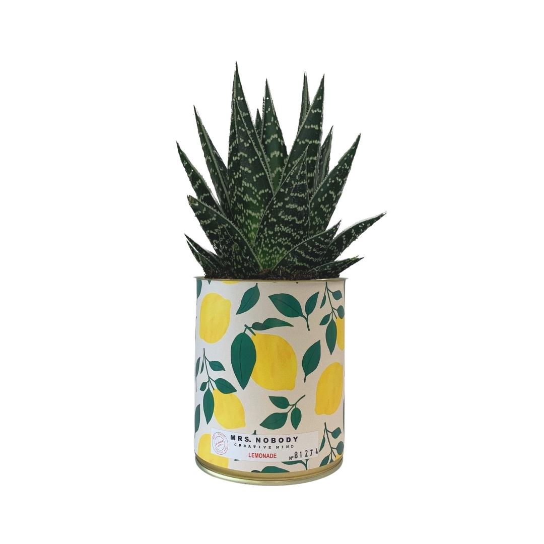 Cactus ou Succulente - Lemonade - Aloe