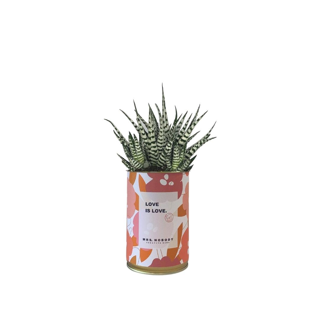 Cactus ou Succulente - Love is Love - Haworthia