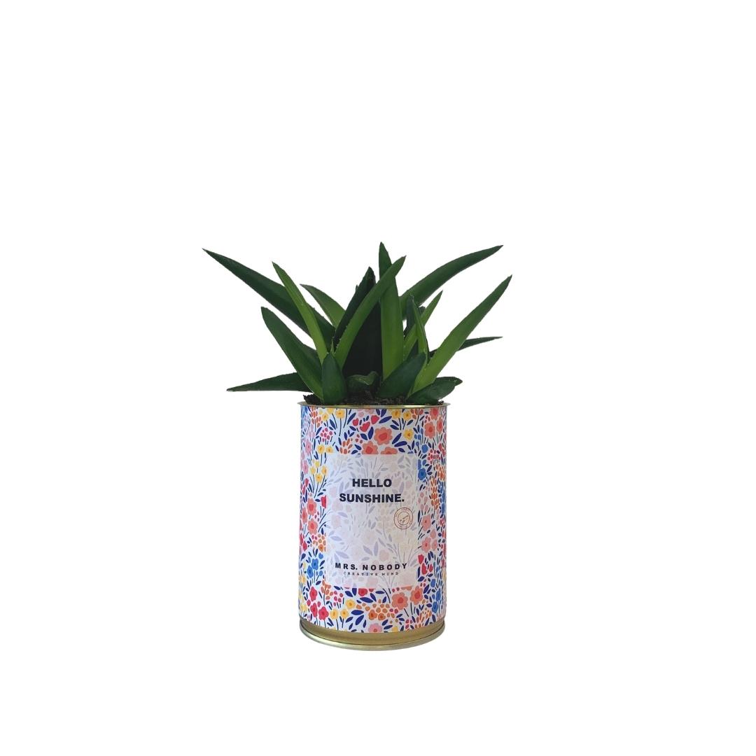 Cactus ou Succulente - Hello Sunshine - Haworthia