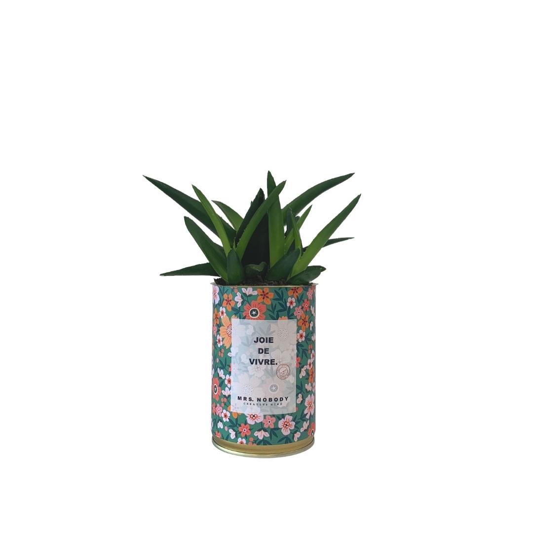 Cactus ou Succulente - Joie De Vivre - Haworthia