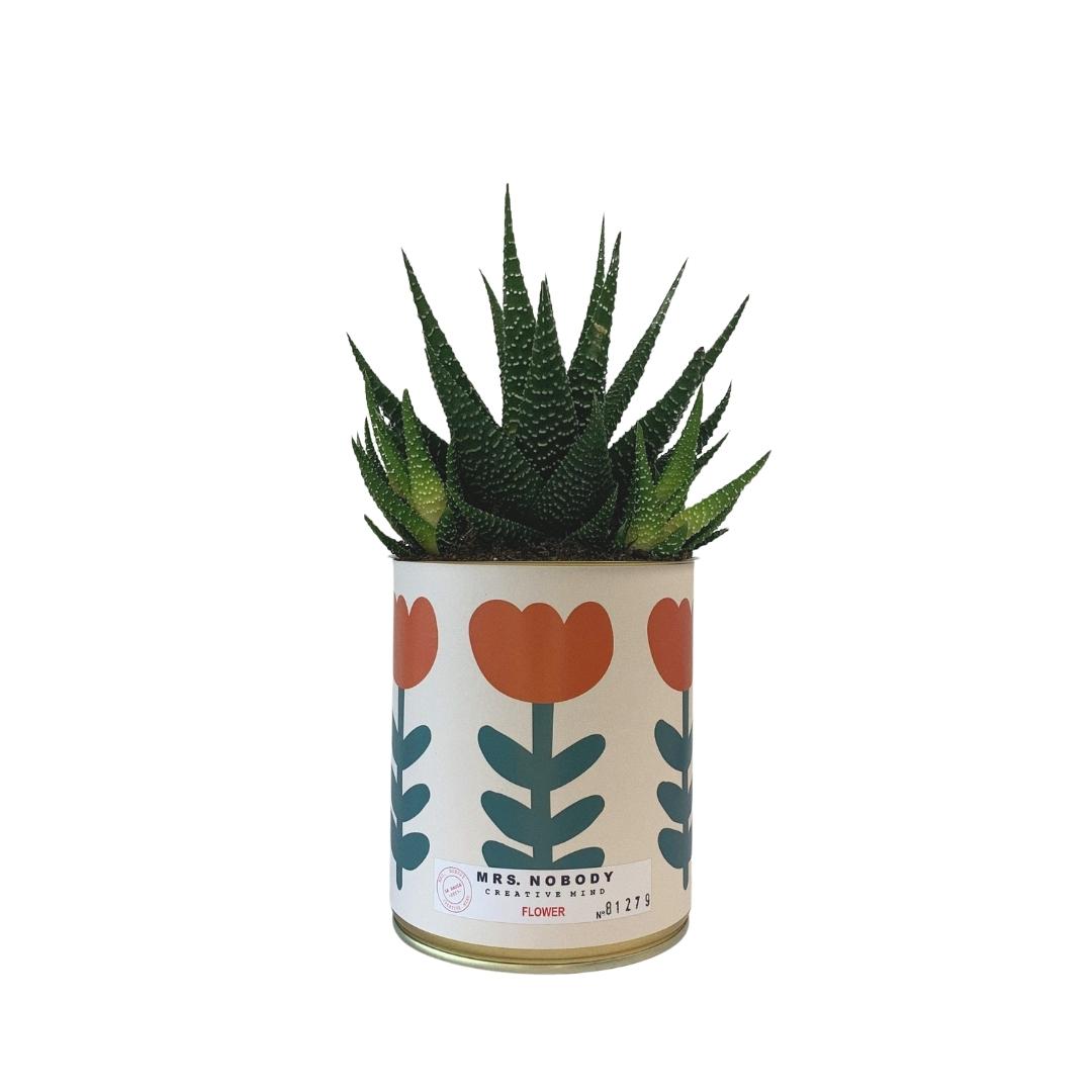 Cactus ou Succulente - Flower - Haworthia