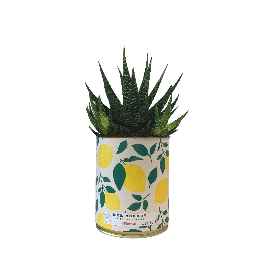 Cactus ou Succulente - Lemonade - Haworthia