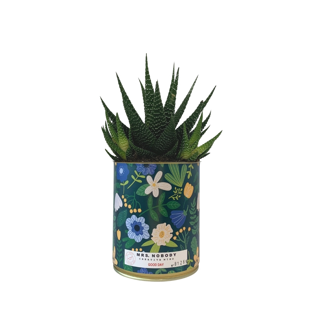 Cactus ou Succulente - Good Day - Haworthia
