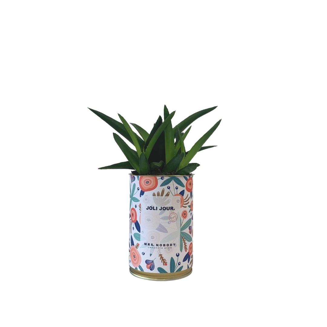 Cactus ou Succulente - Joli Jour - Haworthia