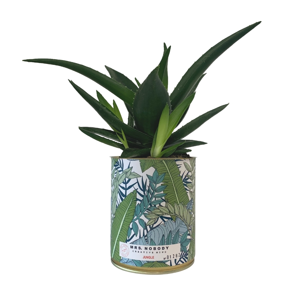 Cactus ou Succulente - Jungle - Haworthia