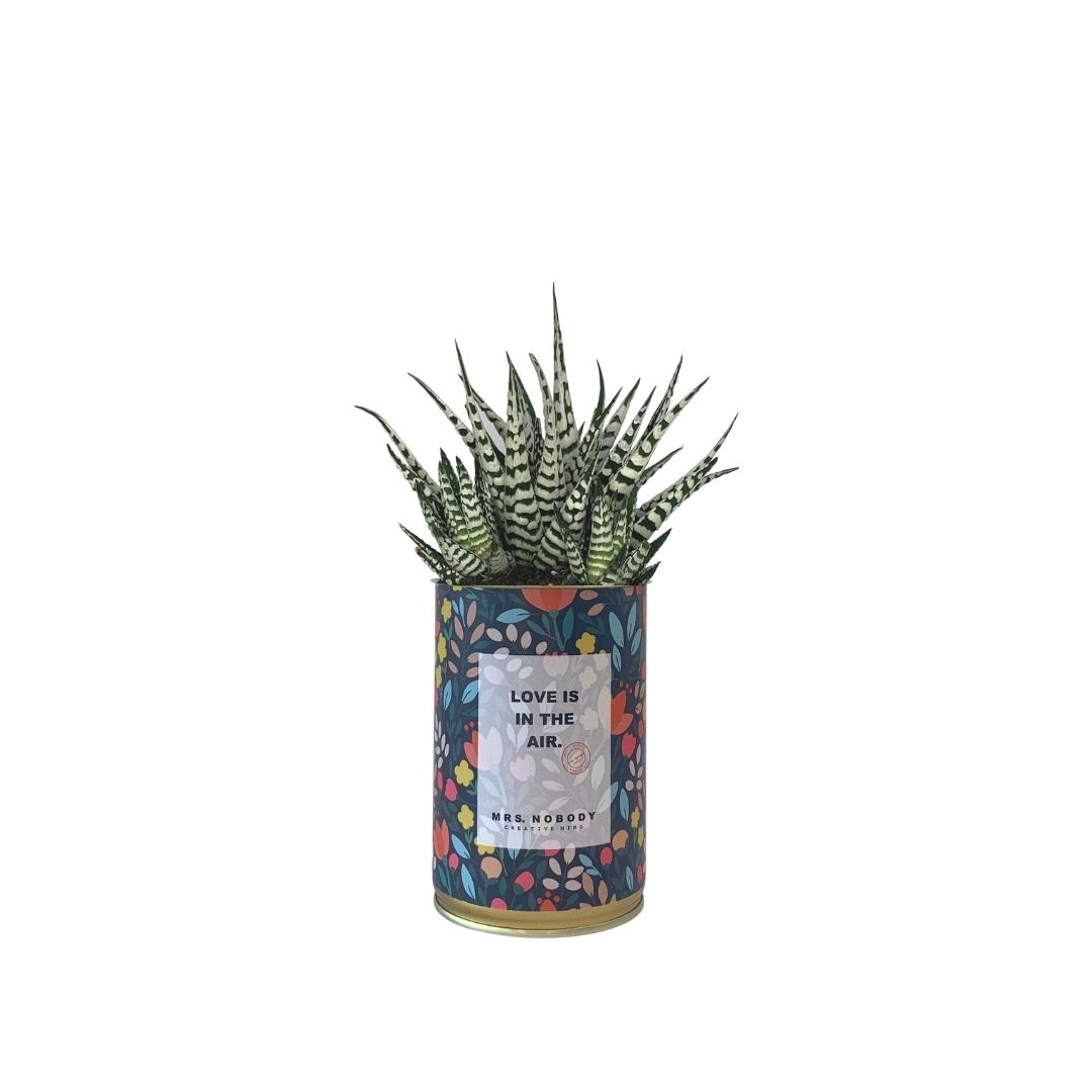 Cactus ou Succulente - Love is in the Air - Haworthia