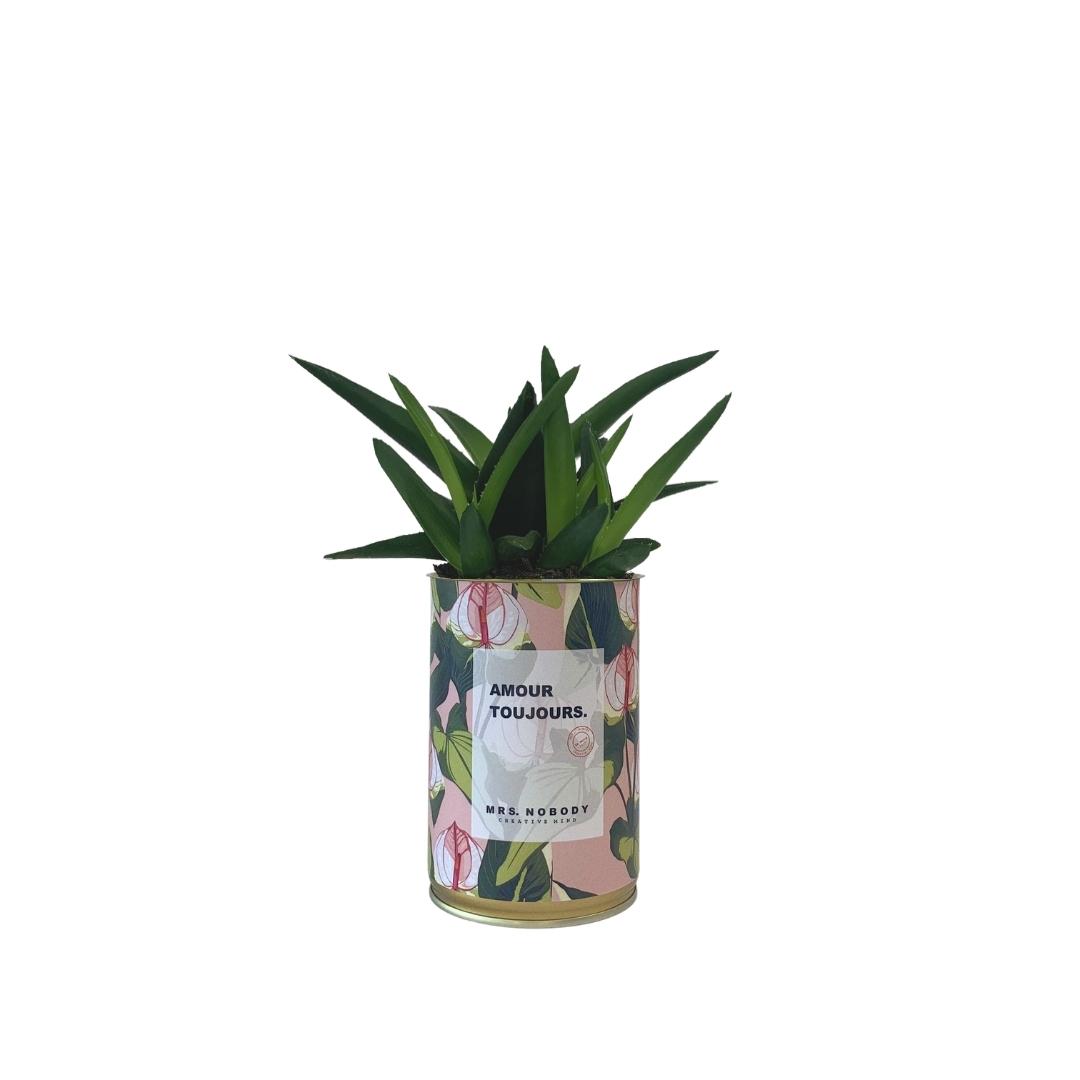 Cactus ou Succulente - Amour Toujours - Haworthia