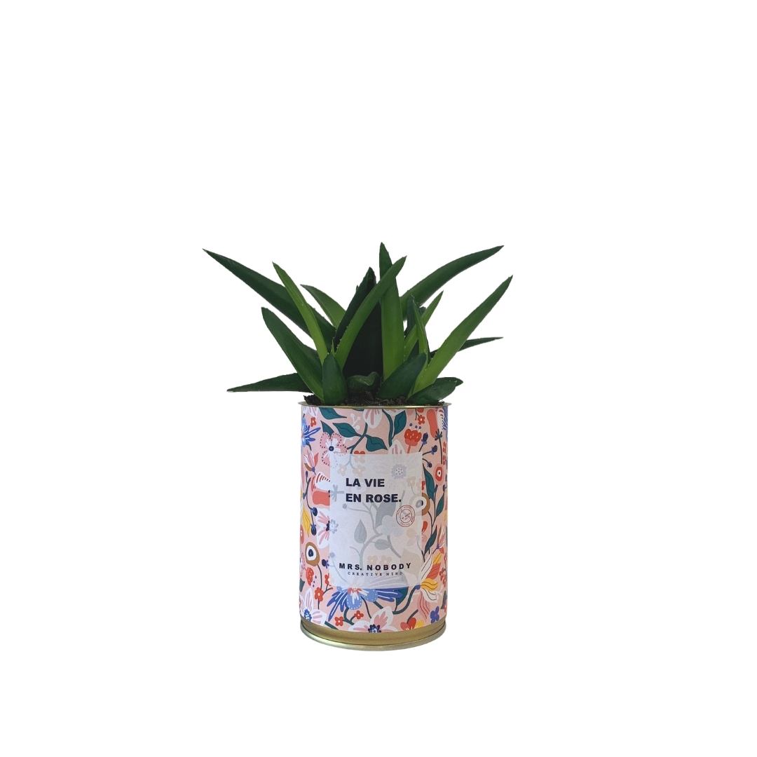 Cactus ou Succulente - La Vie En Rose - Haworthia