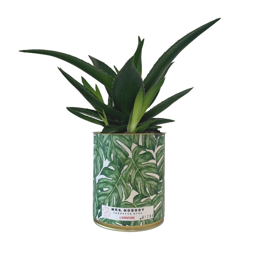 Cactus ou Succulente - L'Aventure - Haworthia