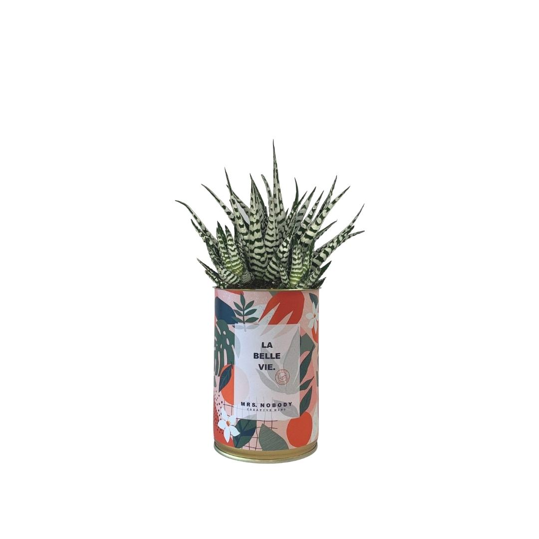 Cactus ou Succulente - La Belle Vie - Haworthia