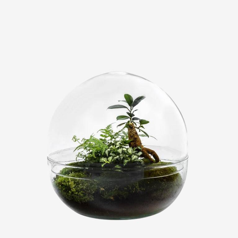 Kit terrarium dôme en verre - Ficus Ginseng 45x40cm