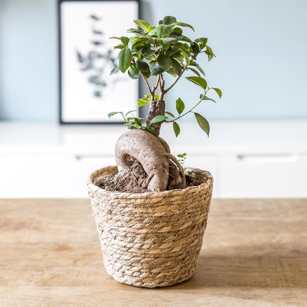 Plante d'intérieur : le ficus microcarpia ginseng + Cache-pot