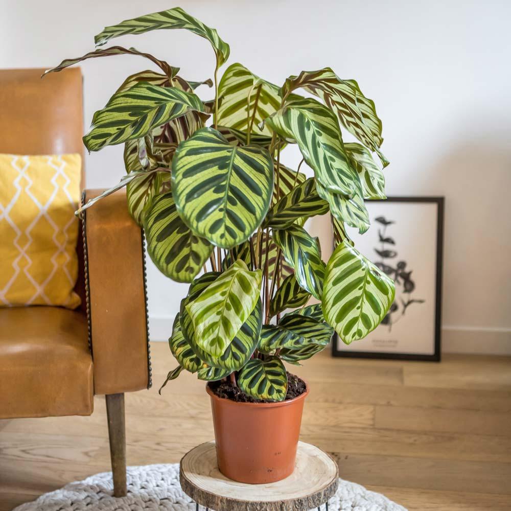 Plante d'intérieur dépolluante : Le calathéa Makoyana