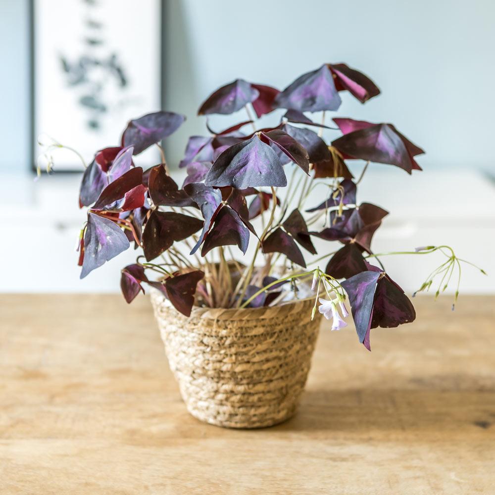 Plante d'intérieur : L'oxalis triangularis + Cache-pot
