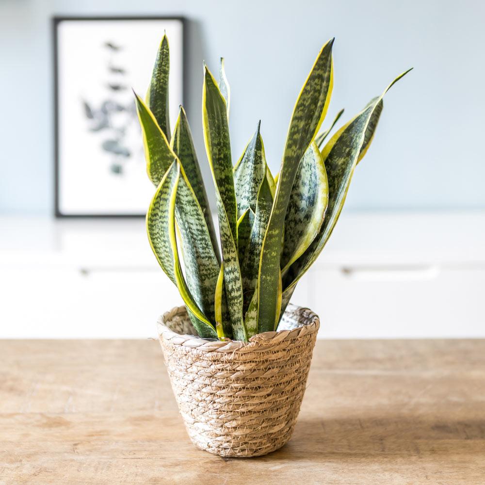Plante d'intérieur dépolluante sansevieria + cache-pot