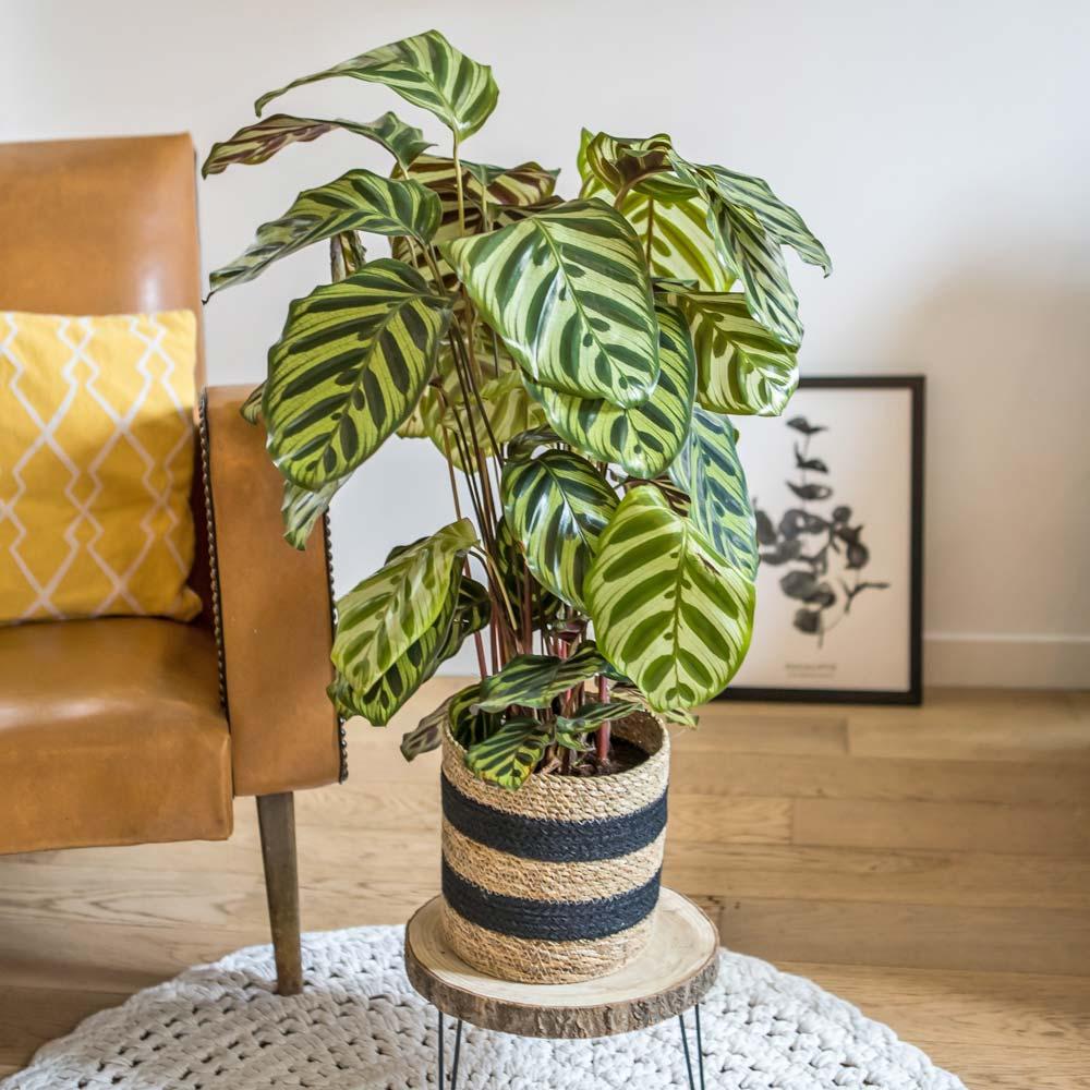 Plante d'intérieur calathéa makoyana + cache-pot