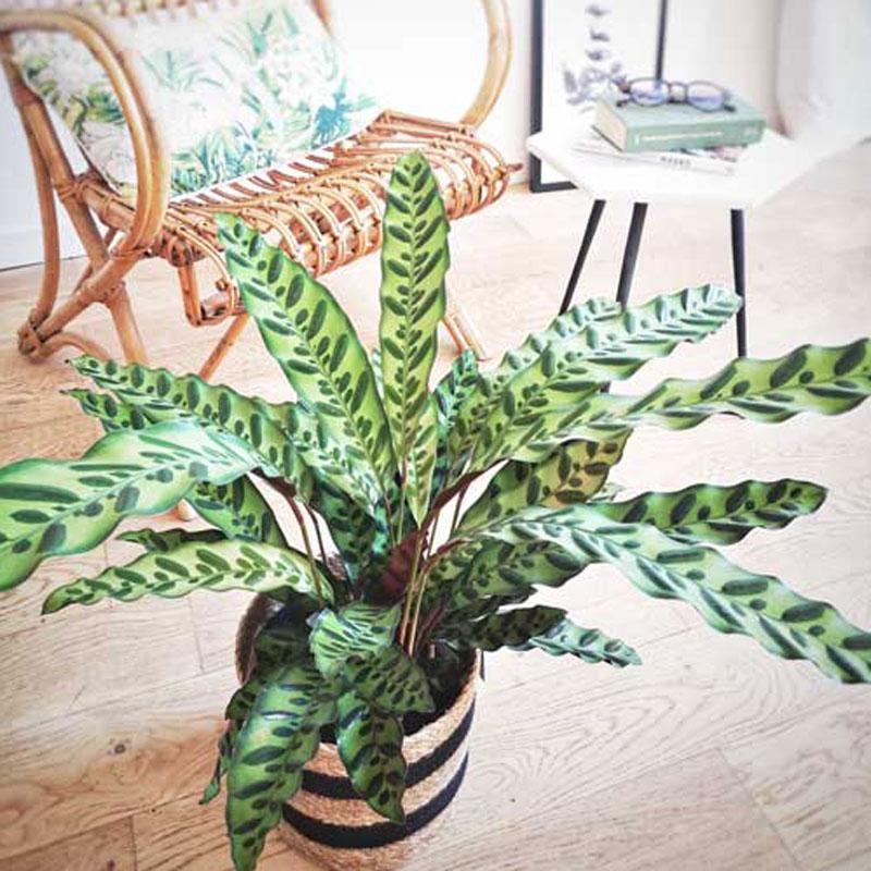 Plante d'intérieur calathéa lancifolia + cache-pot
