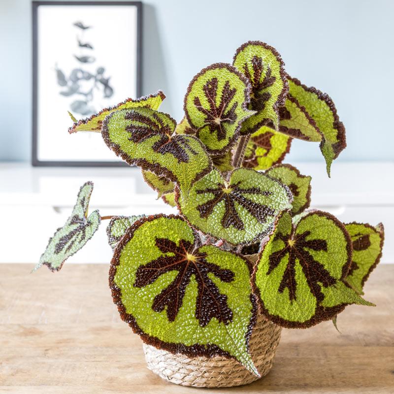 Plante d'intérieur bégonia croix de fer + cache-pot