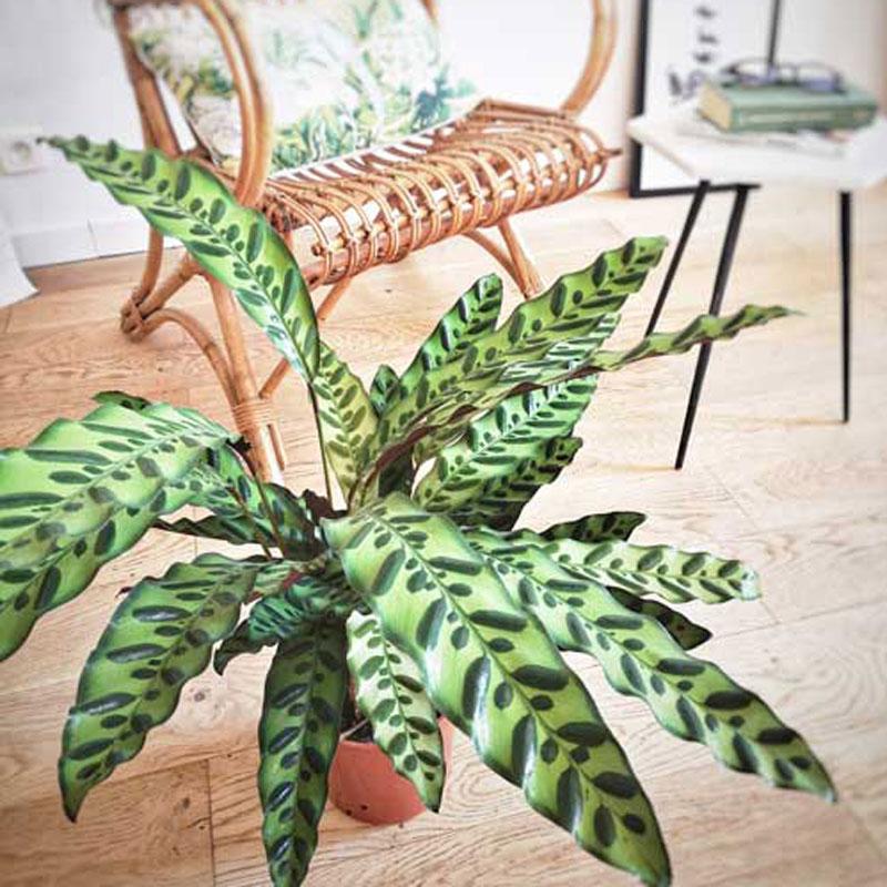 Plante d'intérieur calathea lancifolia sans cache-pot