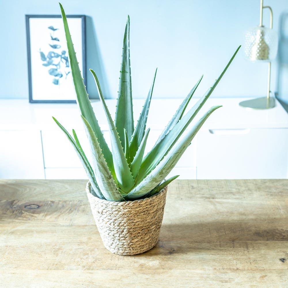 Aloe vera + cache-pot plante d'intérieur facile d'entretien