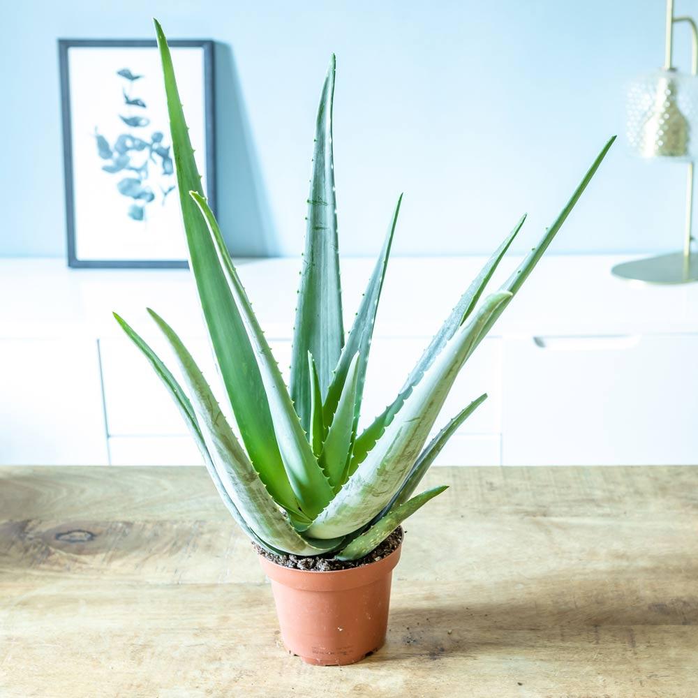 Aloe vera plante d'intérieur facile d'entretien